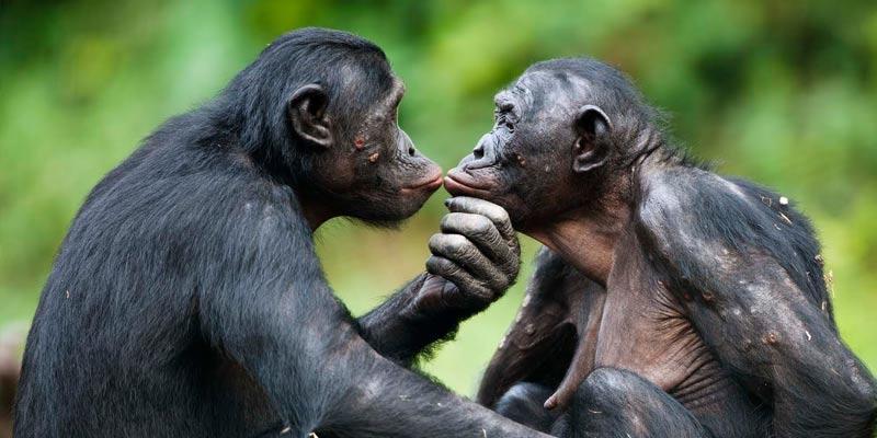 bonobo 2.jpg