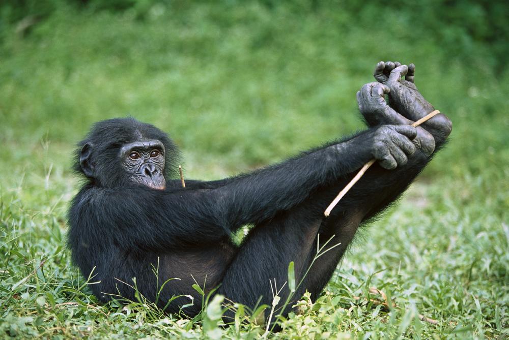 bonobo 5.jpg